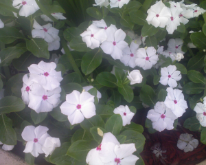 White flowers with a little pink